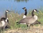 Canada Geese in Baxter MN