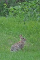 Rabbit in Brainerd
